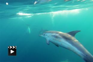 Encounter with dolphins in the Frioul archipelago (Marseille)